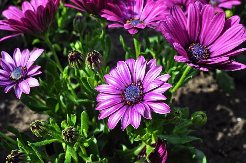 perennial flower